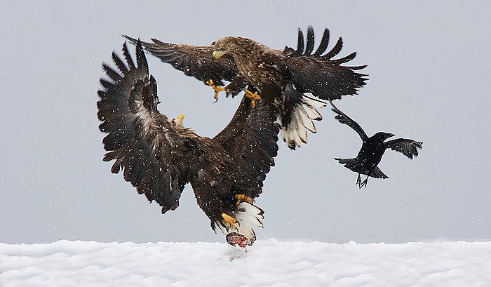 White Tail Eagles Fighting.