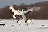 Japanese Cranes.