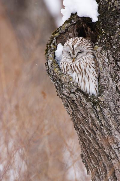 Ural Owl .John Chapman.