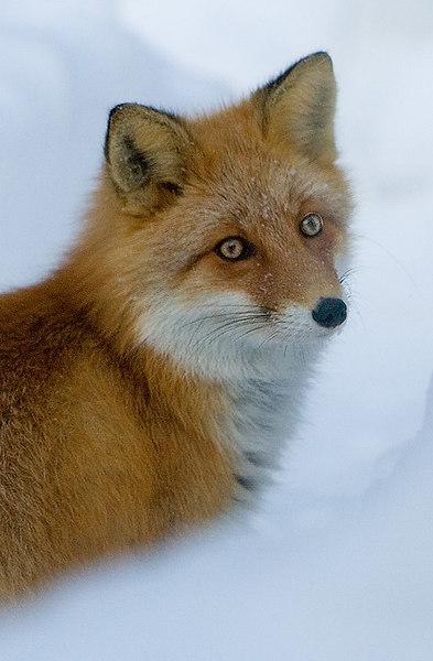 Red Fox. John Chapman.