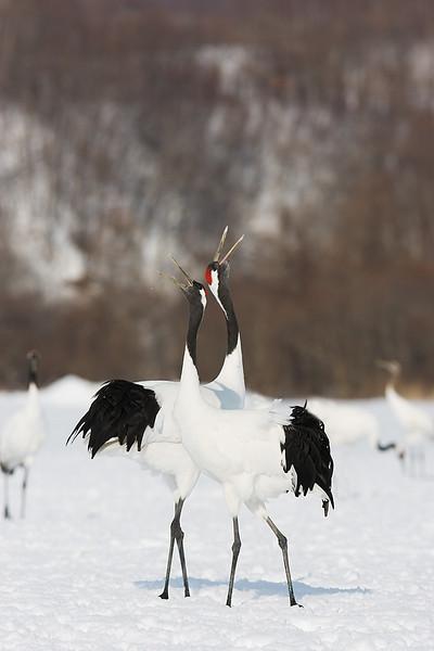 Japanese Cranes John Chapman.