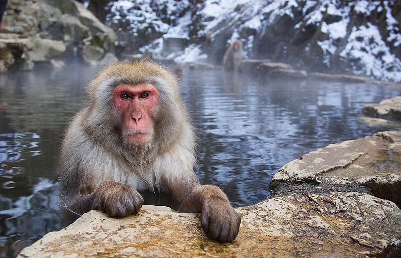 Snow Monkey taking a bath. John Chapman.
