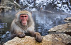 Snow Monkey taking a bath. John Chapman.