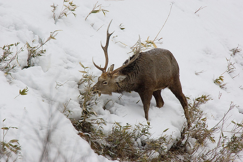 Sitka Deer. John Chapman.