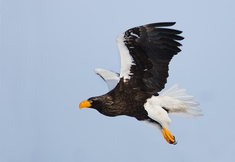 Stellers Eagle. John Chapman.