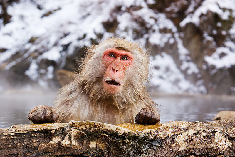 Snow Monkey. John Chapman.