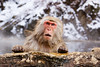 Snow Monkey. John Chapman.