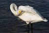 Whooper Swan. John Chapman.