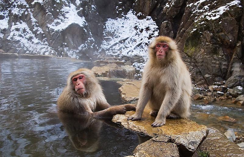 Snow Monkeys.
