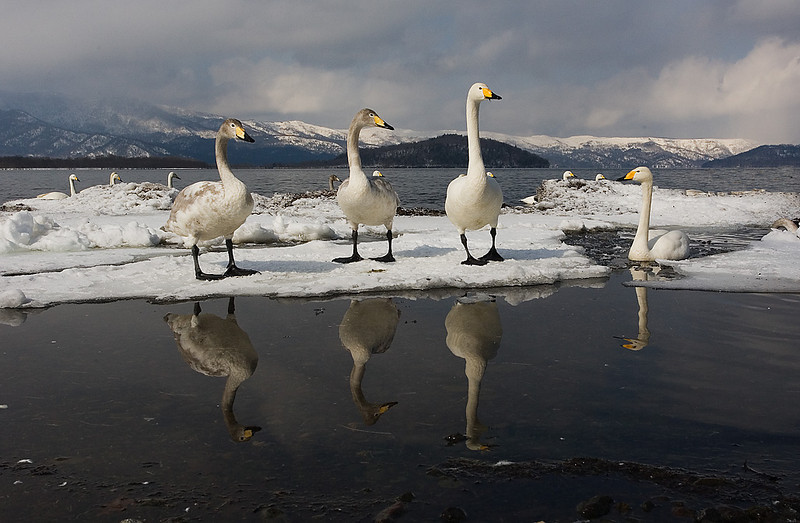 Whooper Swans Lake  Akan Hokkaido. John Chapman.