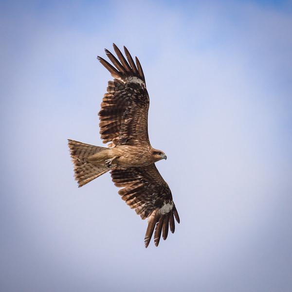 Hawk at the Port of Kanazawa, Japan