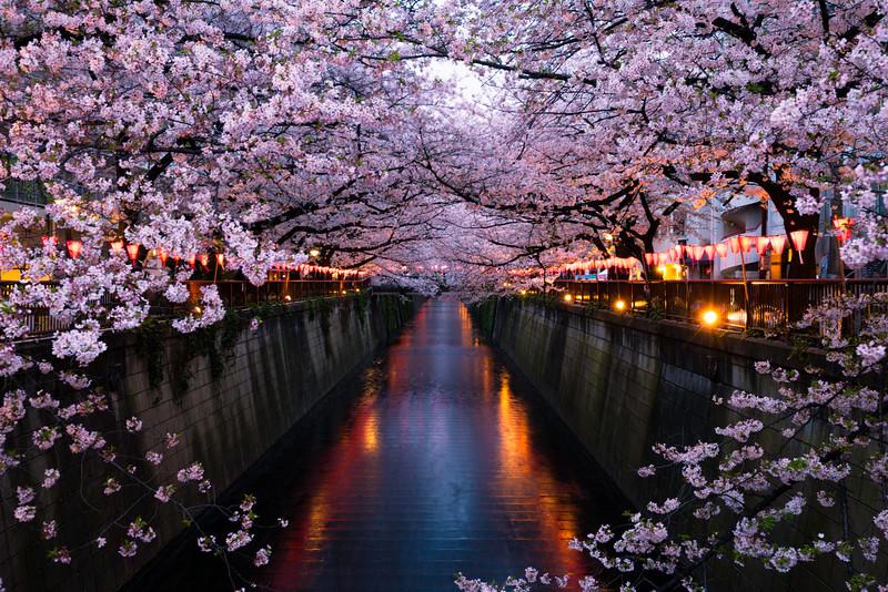 Sakura Along River