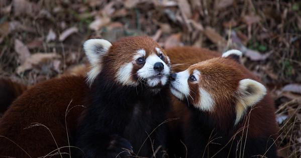 Lesser Pandas