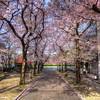 Sakuras in Kyoto