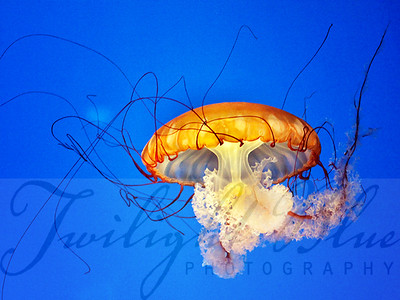 Jellyfish #6