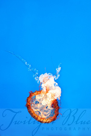 Jellyfish #1