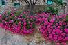 Taybet Zamen - geraniums in grounds of hotel