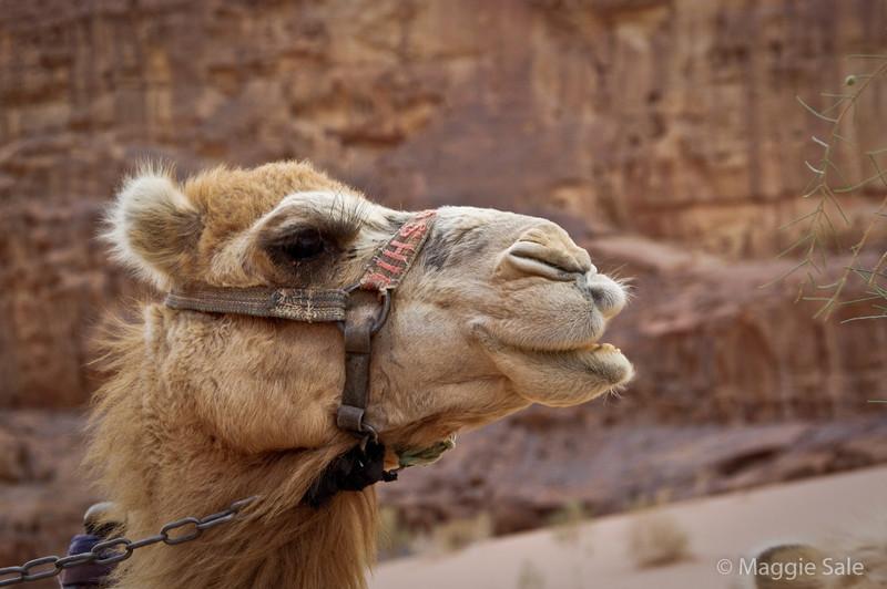 Wadi Rum - camel