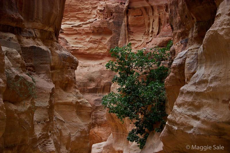 Petra - tree in The Siq
