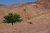 Dana Nature Reserve - tree in desert