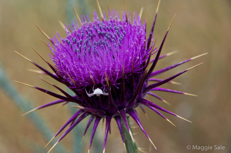 Thistle with crab spider