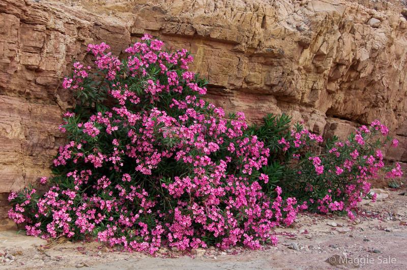 Dana Nature Reserve - flowering oleander in dry river bed