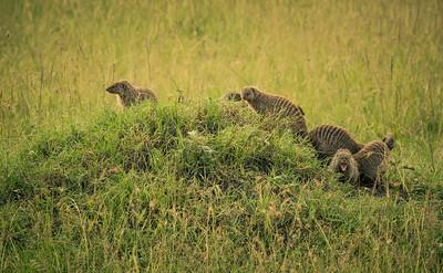 Mongoose | Maasai Mara, Kenya