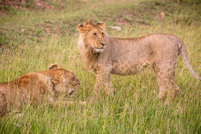 Spotted Lion | Masai Mara, Kenya