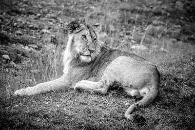 Resting Lion | Masai Mara, Kenya