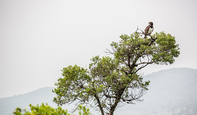 Black-chested Snake Eagle | Masai Mara, Kenya