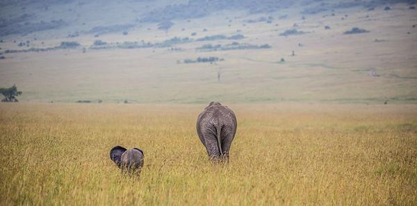 Elephants | Maasai Mara, Kenya
