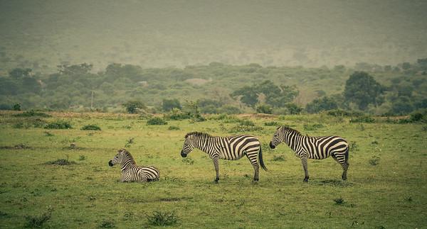 3 Zebras | Maasai Mara, Kenya