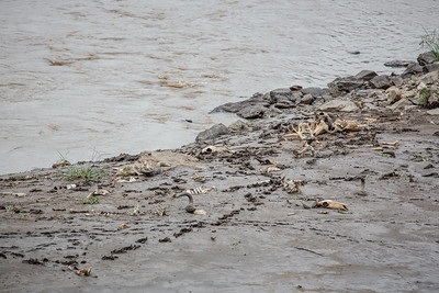 Bones | Mara River, Kenya