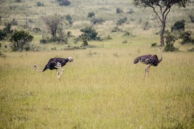 Ostrich | Maasai Mara, Kenya