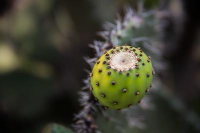 Cactus | Maasai Mara, Kenya