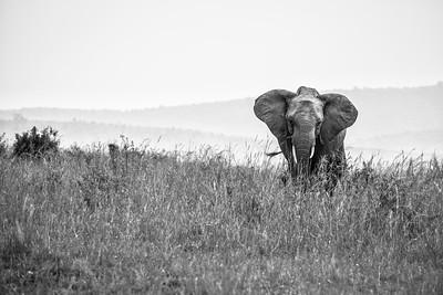 Elephant | Maasai Mara, Kenya
