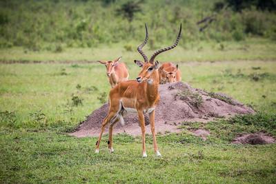 Antelope | Maasai Mara, Kenya