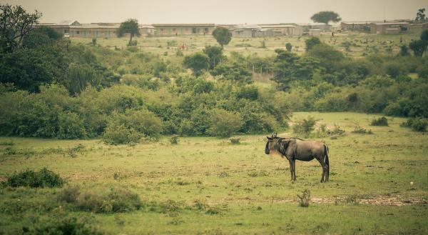Wildebeest | Maasai Mara, Kenya