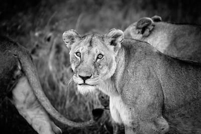 Lioness | Maasai Mara, Kenya