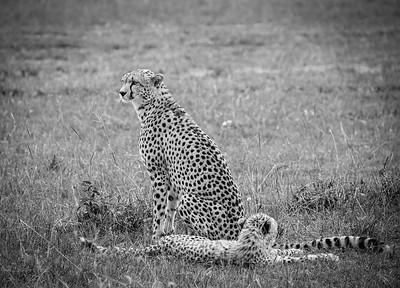 Cheetahs | Maasai Mara, Kenya
