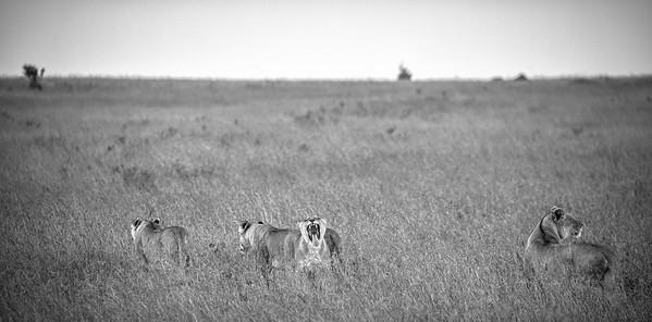 Big Yawn | Maasai Mara, Kenya