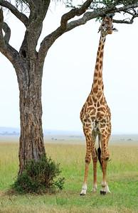 Giraffe | Maasai Mara, Kenya