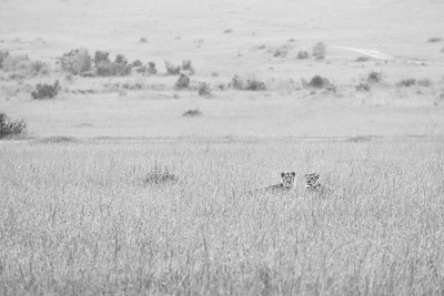 Resting Lions | Maasai Mara, Kenya