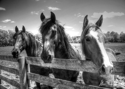 Three Horses at River Glen (HDR) B&W
