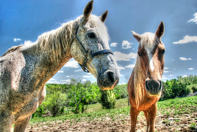 Two Horses (HDR)