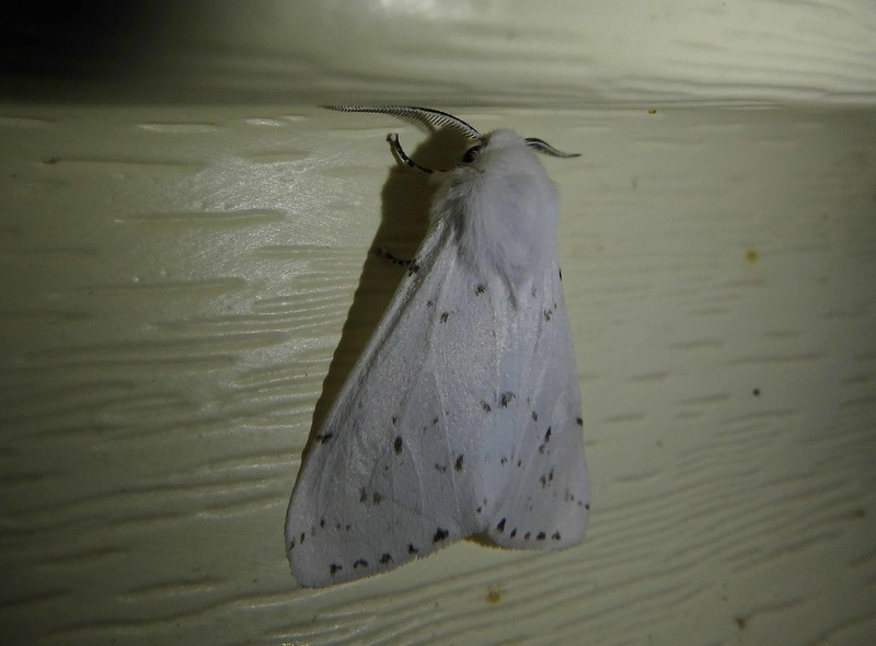 Salt Marsh Moth -- Estigmene acrea, Hodges# 8131 MPG 930317