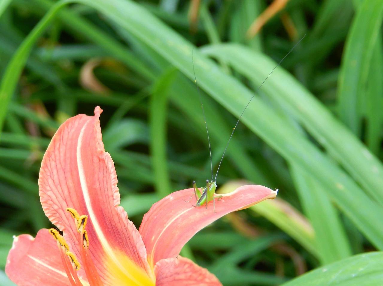 "Slender Meadow Katydid -- Conocephalus fasciatus<br /> <br /> ""Eating is an agricultural act..."" ~ Wendell Berry"