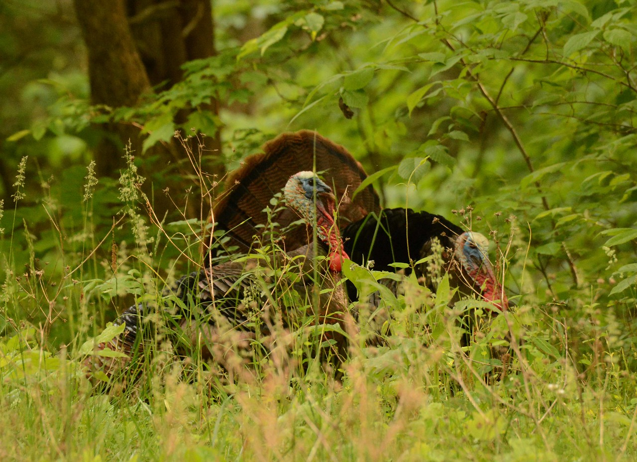Wild Turkey (m) -- Meleagris gallopavo, numbers seem to be strengthening