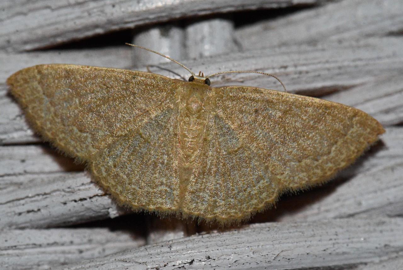 Common Tan Wave Moth -- Pleuroprucha insulsaria, Hodges #7132, MPG 209325