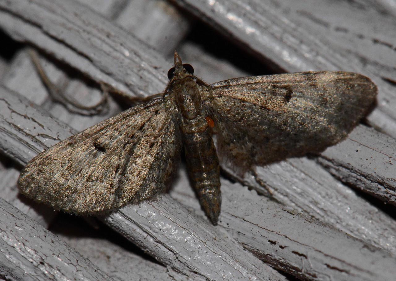 Wormwood Pug -- Eupithecia absinthiata, Hodges# 7586.1 MPG 220975